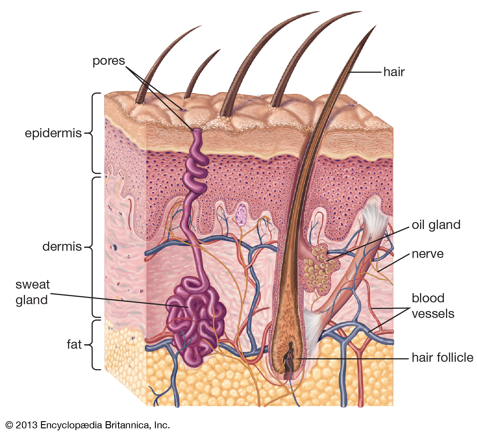 An illustration of the skin's structure (From: Britannica)