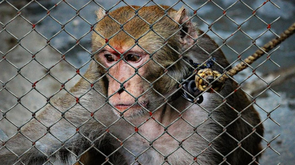 Animal Cruelty in Monkeys (From: Pixabay)