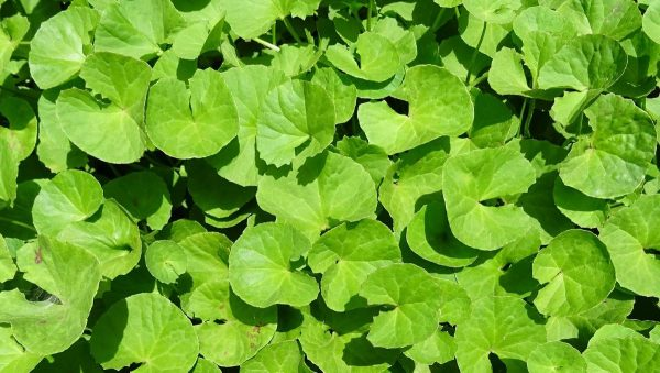 A closer look at centella asiatica plants. (From: Pixabay)