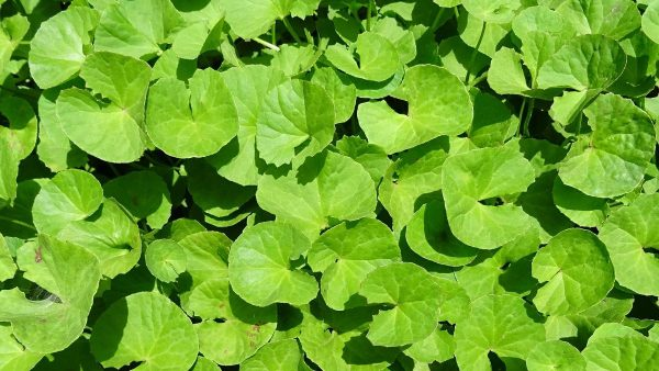 A closer look at the Centella asiatica plant. (From: Pixabay)