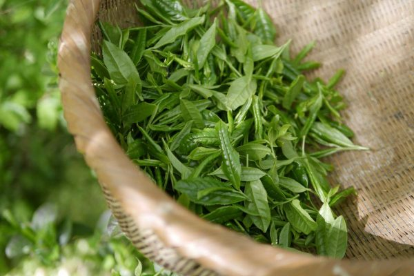 Some green tea leaves in a basket during harvest. (From: Pixabay)